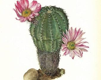 Cactus Print, Botanical Print, Art Print, Home Decor, Book Plate, Antique Illustration, Wall Decor, Echinocereus pulchellus, A-14
