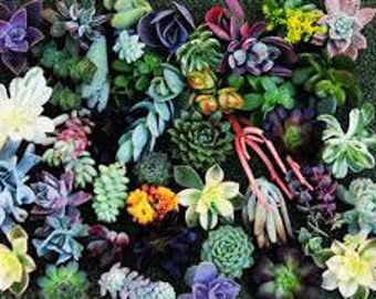 Good Start Plants... 5 Succulent clippings Succulent cuttings Succulent starts in a mixture of plant colors