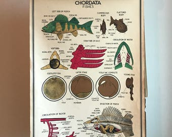Vintage Large Original Chordata Fishes School Chart or Poster 3ft x 2ft