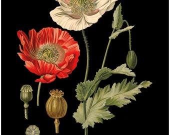 antique french botanical print papaver somniferum poppy flowers digital download black background illustration