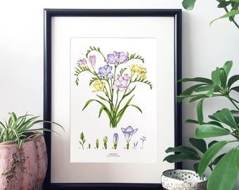 Botanical Illustration A4 Giclee Print - Freesia
