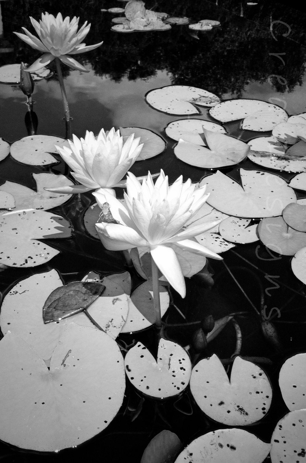 Black and white lilies photography lily pad flower zoom izmirmasajfo