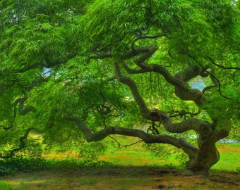 Threadleaf Japanese Maple Tree in Summer Fine Art Landscape Photograph Green Zen Home Decor Tree of Life Nature 16X24 Art Print