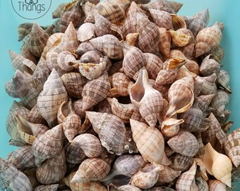 SWFL Seashells!  Banded Tulip Shells - BULK - Lot of 40
