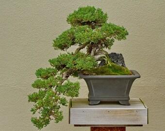 Bonsai Wall Art, Juniper Bonsai Print, Japanese Style Art, Green and Brown, Zen Home Decor, Bonsai Lover Gift, Tree Print, Office Wall Art