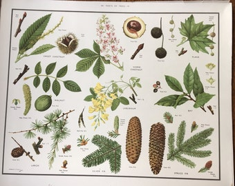 VINTAGE 1930's School Poster: TREES 4 Horse Chestnut Fir Walnut Bay Cones Educational Print Nature Study Wildflowers Flowers