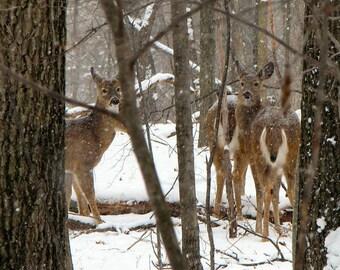 Deer in the snowy woods