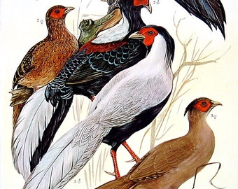 Bird Print - Pheasants 2 - 1968 Vintage Print - from Encyclopedia