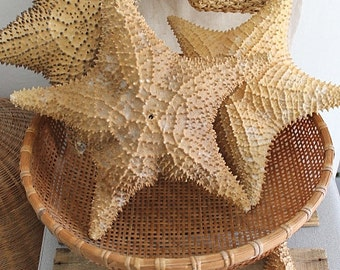 Vintage Large 13 Inch Natural Starfish Specimen Display