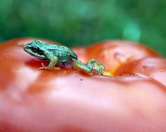 Grenouille sur une tomate