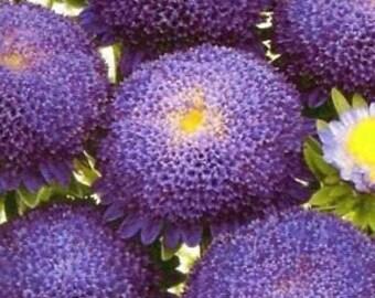 AASP)~POMPON BLUE Aster~Seeds!~~~~~~~~~A True Blue Beauty!