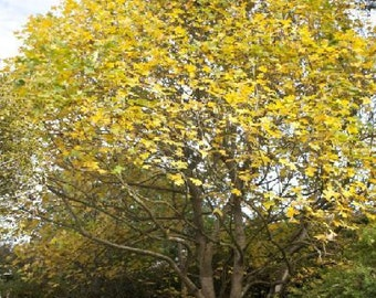 50 Chinese Tulip Tree Seeds, Liriodendron chinensis d.w