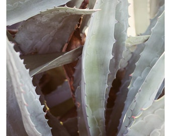 Nature Photograph - Succulent Photograph - Flower Photograph - Winter Agave 7 - Fine Art Photograph - Alicia Bock - Green Print - Floral Art