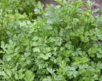 Hairloom organic parsley herb seeds 5.00gr 2000-2200seeds