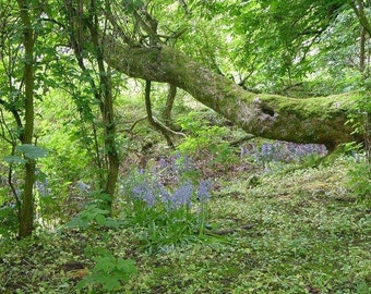 Forest Walk at Duff House Scotland 5x7 Glossy Photograph Alba Ranch Bluebells Forest Bathing