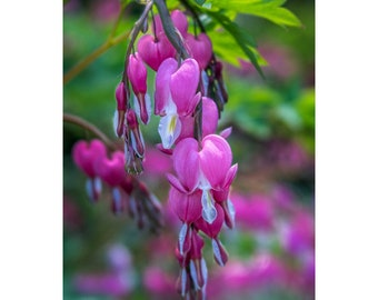 Bleeding Hearts Photograph Matted to 11 X 14