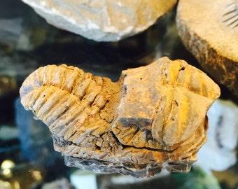 Fossil Trilobite species Flexicalymene