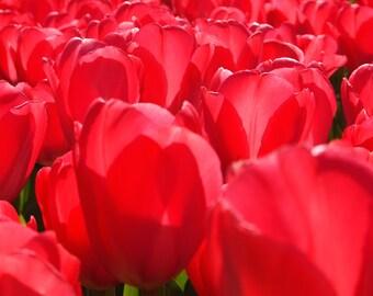 Pink Tulips Flower Photo Wall Art Fine Art Photo Print Botanical Art Photography