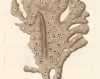 Palmated Sponge Coral, 1790