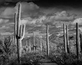 Saguaro Cactuses near Tucson Arizona in Saguaro National Park No.FS234BW A Black and White Fine Art Landscape Photograph