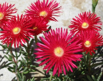 100 Gelato Bright RED seeds