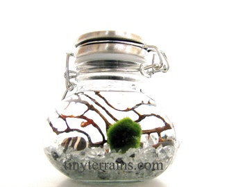Mother's Day Gift Marimo Terrarium: Marimo Moss Ball Small Wide Stainless Steel Jar Terrarium Kit, 23 Colors, Gift Wrap, Card, Fast Shipping