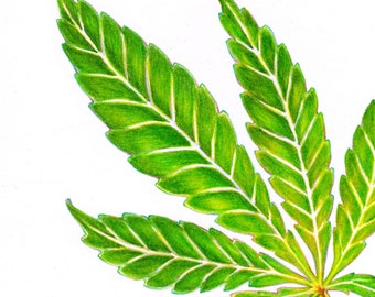 Hemp Leaf (Cannabis Sativa) Illustration