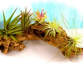Small Air plant Mix ~ 4 or 5 Plant Choice at checkout ~ Rubra ~ Mexican ~ Fuego ~ Filifolia ~ Velutina Red Tipped ~ May Not be in bloom