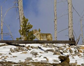 Coyote, a Yellowstone survivor, 8 x 10 Original Fine Art Photography