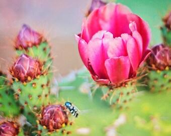 Impression – Blooming cactus fleur photo, abeille rose et vert, macro, photo du désert, photo de l'Arizona