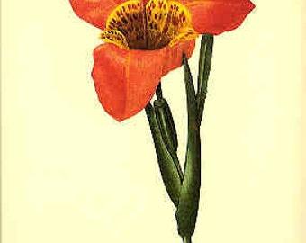 Redoute Botanical Print -  - Tigeridia- 138