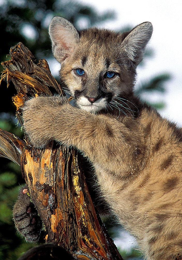 Cougar Kitten 8x10 Animal Photography Baby Mountain Lion