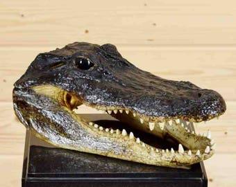 "12"" Well Preserved Alligator Head Taxidermy - SW4237"