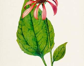 Coneflower Flower Art Print, Botanical Art Print, Flower Wall Art, Flower Print, Floral Print, pink, green