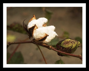 Cotton Boll Note Cards (8)
