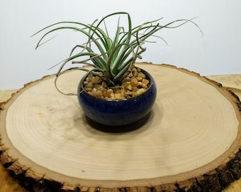 Mini ceramic dish with air plant