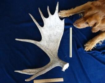 Maine Moose Shed Antler