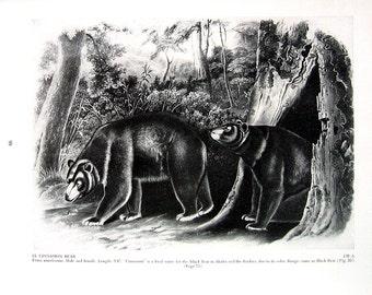 Vintage Audubon Animal Print - Cinnamon Bear - 1951 Vintage Book Page - Black and White