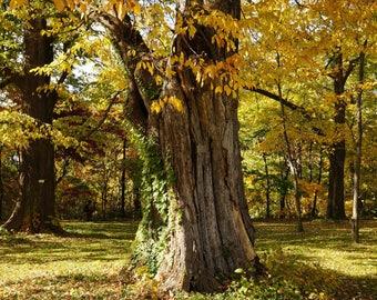 Japanese Elm Tree Seeds (Ulmus davidiana) 50+Seeds