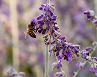 Lavender / Bee photography