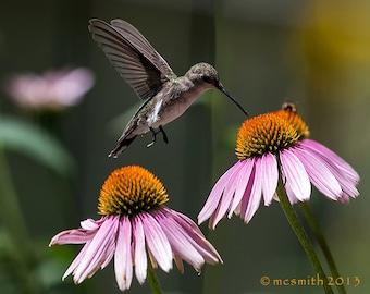 Hummingbird with Coneflower