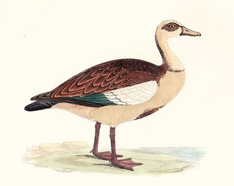 Egyptian Goose . Antique Bird Print . original vintage woodblock art plate . Vol. V dated 1897