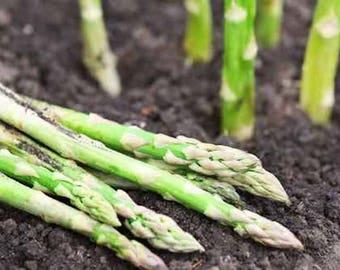 Asparagus - 1,000+ Seeds - Mary Washington - 25 Grams