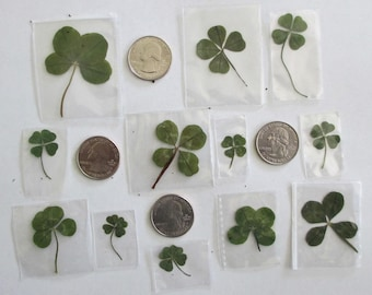 12 Real 4 Leaf Clovers for St. Patrick's Day (12 Genuine 4L Clovers)