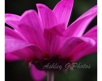 Pink Daisy Flower Against a Green background, Nature Photography