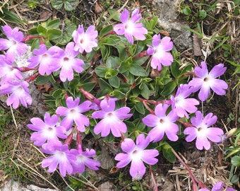 10 Primula wulfeniana Seeds, Wulfen's Primrose