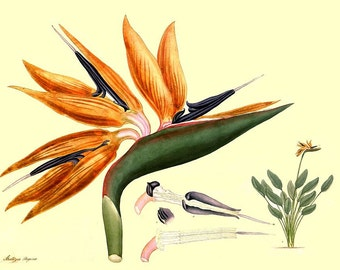 antique french botanical print bird of paradise illustration digital download