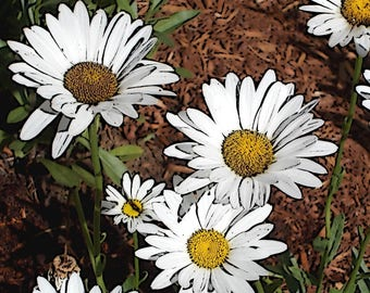 Daisy Garden 5.5 x 4.25 notecard