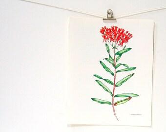 Red Milkweed - Flower Print - 1989 Vintage Page 10 x 8