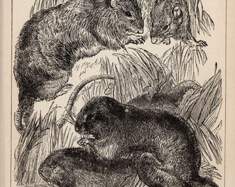 Antique Print, 1871 WATER RATS, Engraving, beautiful wall art vintage engraved b/w illustration animals 121